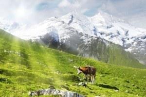 Mucche, voto, legge dello specchio ed evoluzione personale
