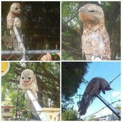 The Great Potoo Bird Is A Very Creepy Looking Bird Indeed  The Gerat Potoo s