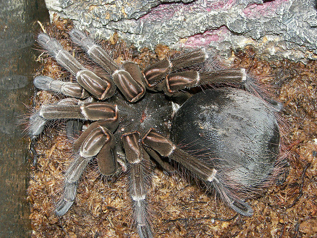 Worlds Biggest Spider History