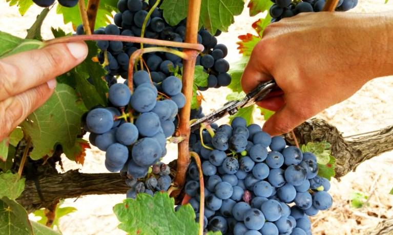 Abi vendimiando en La Rioja