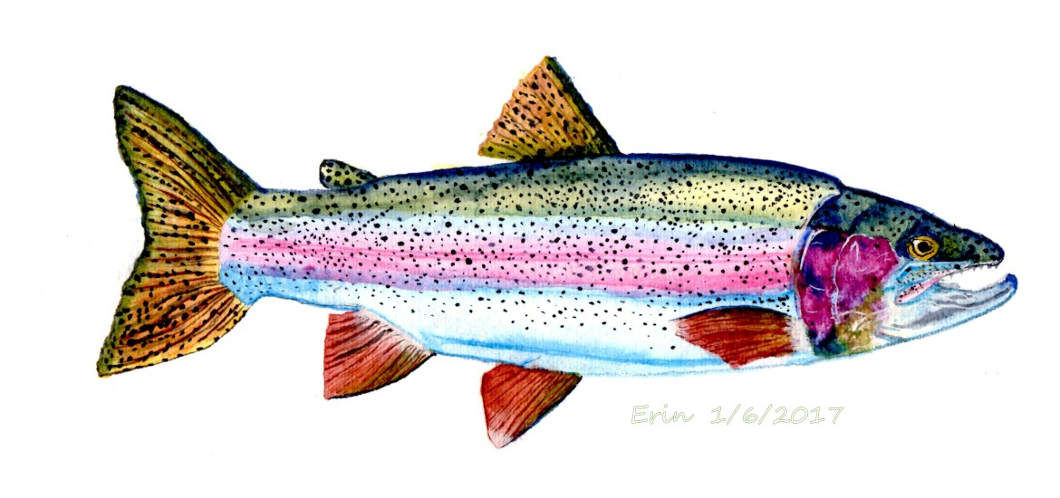 images for rainbow trout wallpaper sportstle
