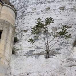 arbre dans le calcaire de la roche guyon