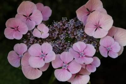 hortensia rose villa rufolo