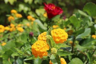 lantanas et hibiscus en pot