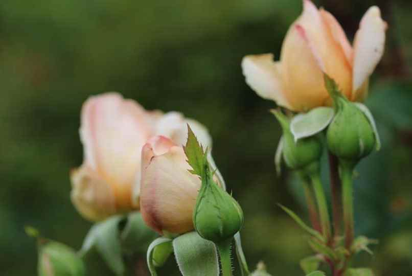 Roses du hameau