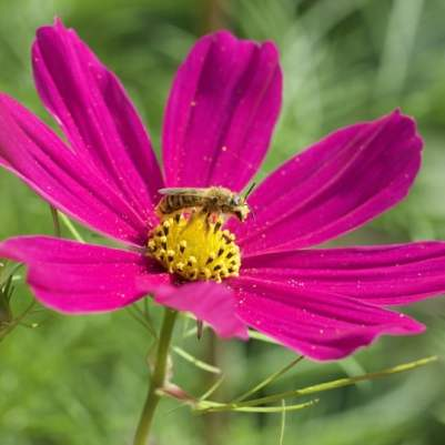 Cosmos et abeille