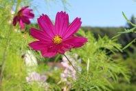 Cosmos rose fushia