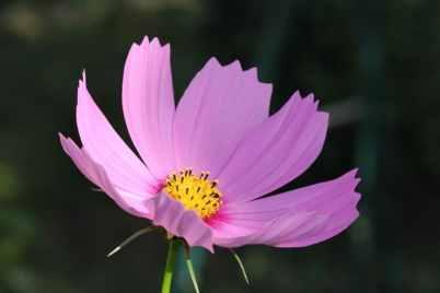 Cosmos rose pale