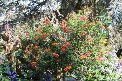 Buisson de lantana à Coutances