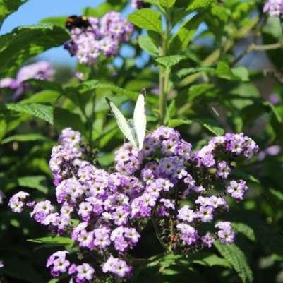 Papillon blanc sur fleur mauve Coutances