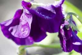Viola givrées
