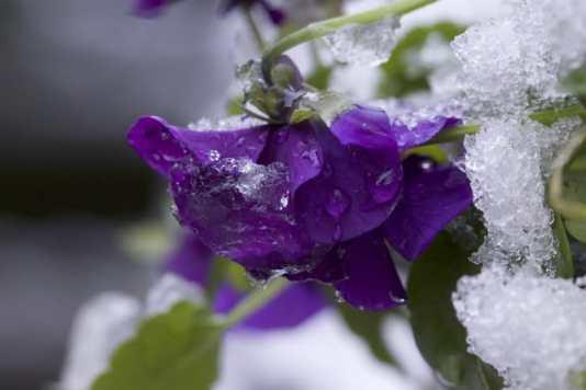 Viola sous la neige
