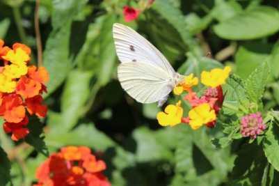 Papillon sur un lantana