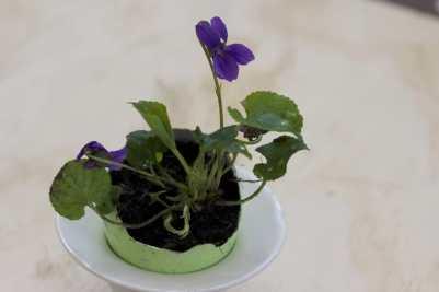 violette dans coquille