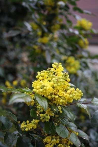 mahonia fleuri