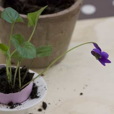 rempotage de violette