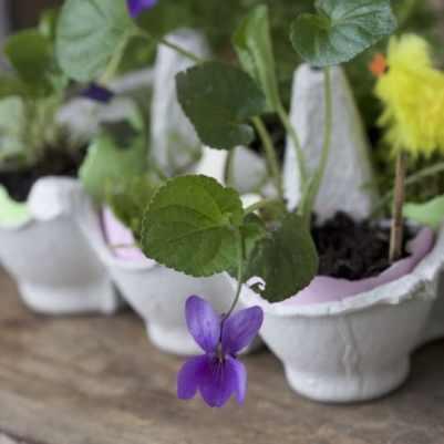 Violette et jardin de pâques