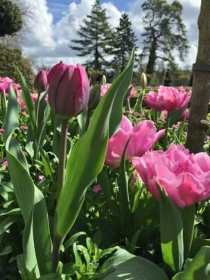 Tulipes des jardins de Maintenon