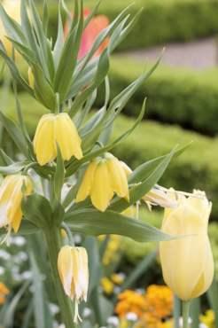 parterre de tulipes à Villandry