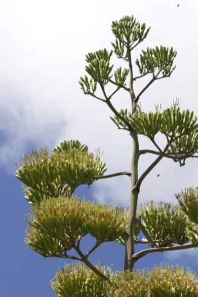 Agave en fleur sur l'île de Lanzarote
