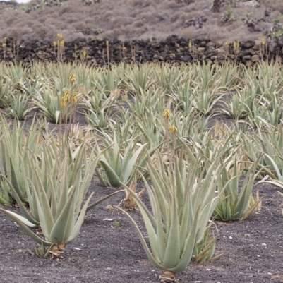 Plantation d'Aloe vera sur l'île de Lanzarote