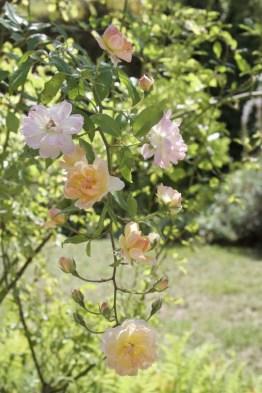 roses du Jardin des Princes