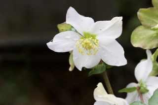Hellébores pour mon bouquet d'hiver