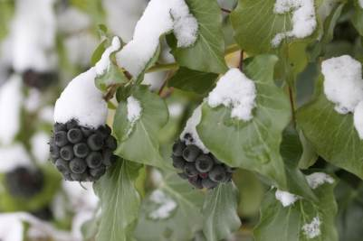 lierre sous la neige