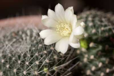 Mon mini cactus fleuri