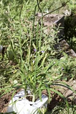 Plantation d'une Agapanthe Twister Globe Planter.