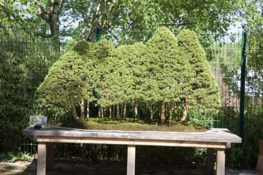 Bonsaïs de l'arboretum de la Vallées-aux-Loups.