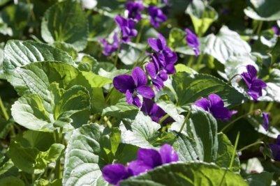 Violettes de l'arboretum de la Vallée aux Loups.