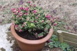 Plantation et entretien du gaultheria