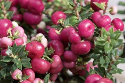Baies roses de Gaultheria