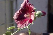 Rose trémière fin octobre pour ma boîte à graines