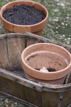 Bulbes de jacinthes pour une floraison échelonnée
