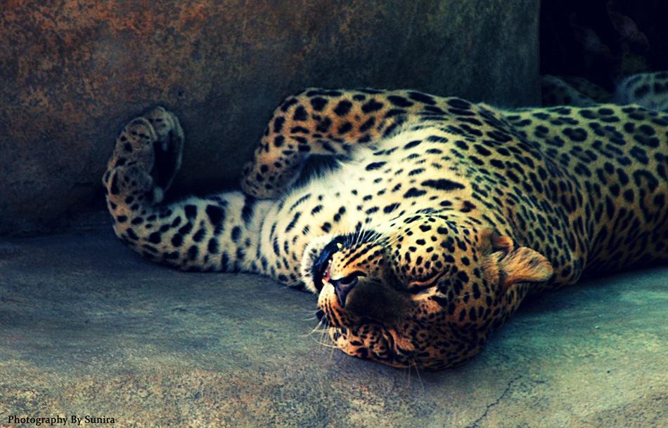 naples_zoo_jaguar