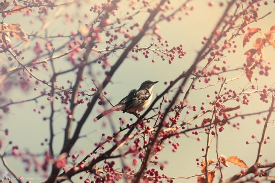Northern Mockingbird in Georgia