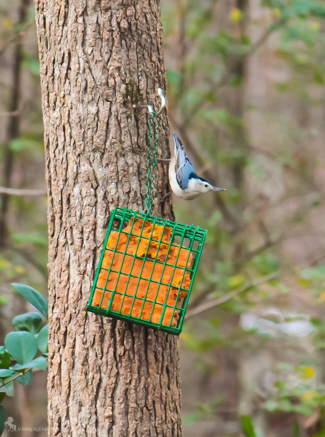 """A common feeder bird with clean black, gray, and white markings, White-breasted Nuthatches are active, agile little birds with an appetite for insects and large, meaty seeds. They get their common name from their habit of jamming large nuts and acorns into tree bark, then whacking them with their sharp bill to """"hatch"""" out the seed from the inside. White-breasted Nuthatches may be small but their voices are loud, and often their insistent nasal yammering will lead you right to them."""
