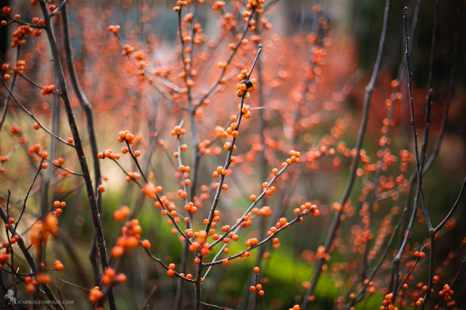 The plants are dotted with the berries of fall past.