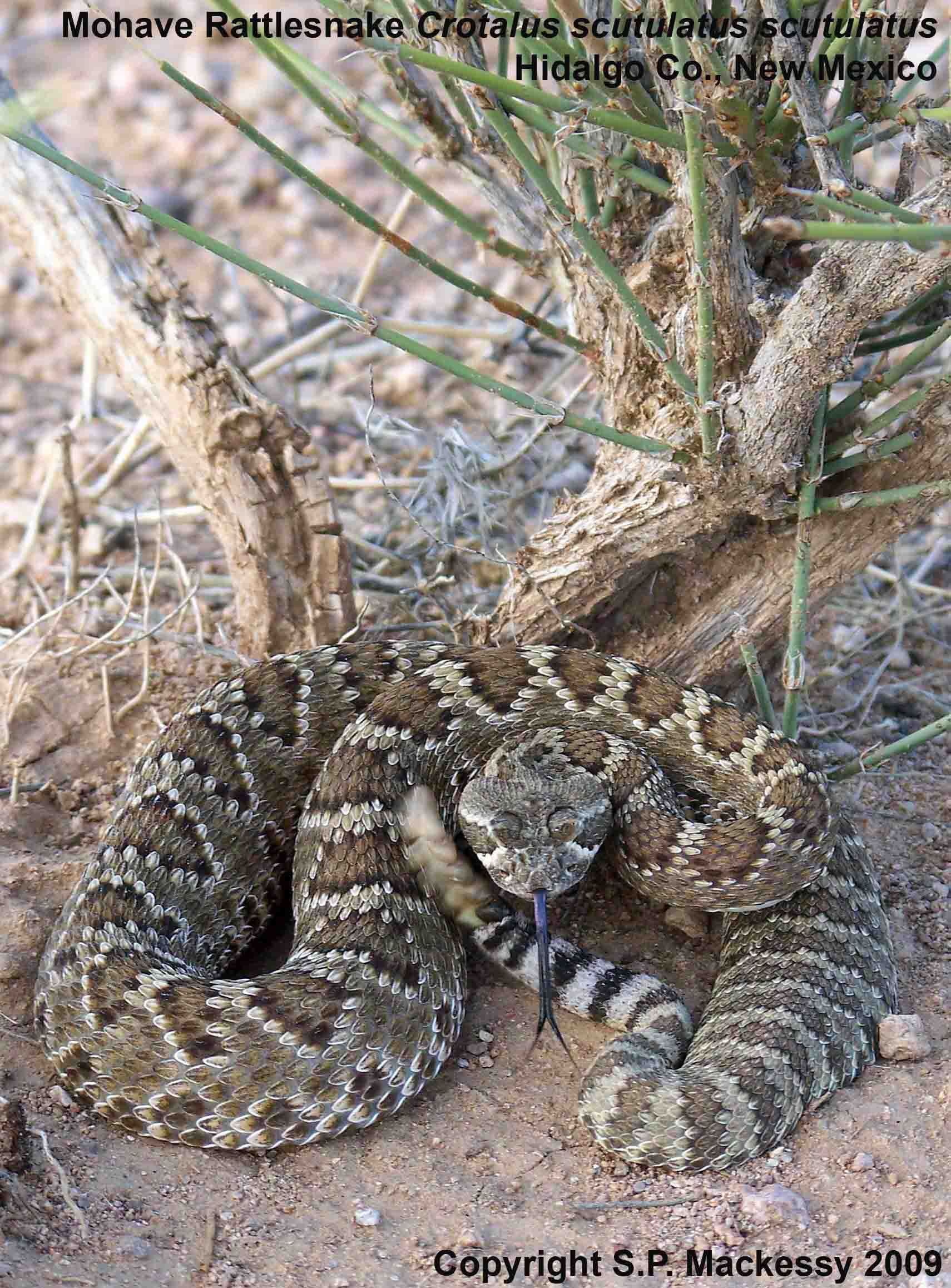 Desert Animal Rattlesnake Worksheets For First Grade