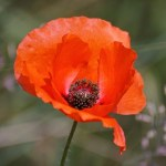 Uncompromising Faith Remembering Poppy