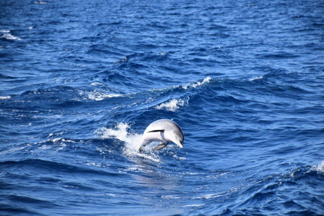 Spirit of the Sea, balade en bateau pour voir les dauphins à Gran Canaria