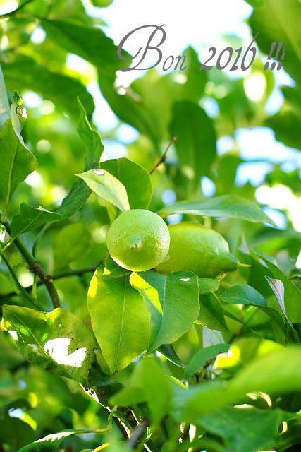 Bonne année 2016 !!! Citrons arbre