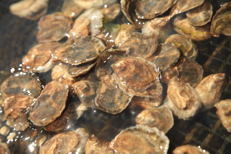 Oysters Filter Water… Timelapse