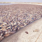 Lake filled with the bodies of dead fish