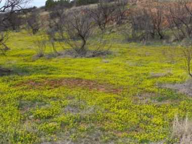 Caprock Canyons Wildflowers