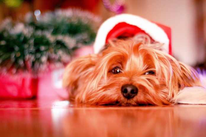 Here's your chance to get Christmas portraits of your pets