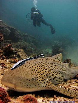 Leopard Shark - photographed by underwater australasia member Sami Varyrynen