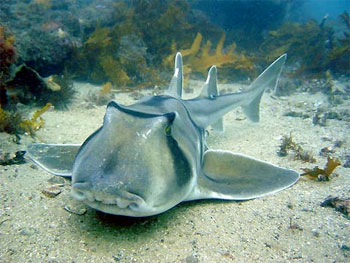 Port Jackson Shark - photographed by underwater australasia member Peter Perry